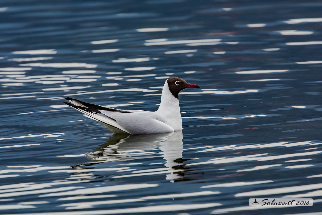 Chroicocephalus ridibundus:   Gabbiano comune ;   Black-headed gull