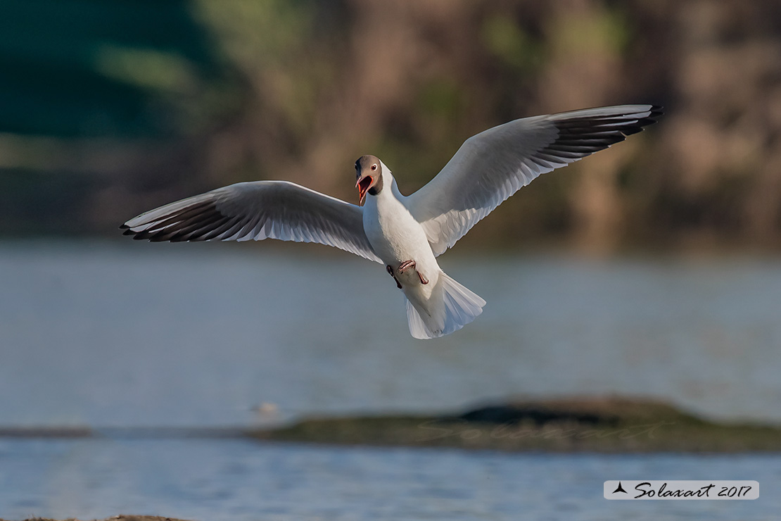 Chroicocephalus ridibundus:   Gabbiano comune (Adulto in abito nuziale) ;   Black-headed gull (Adult breeding plumage)