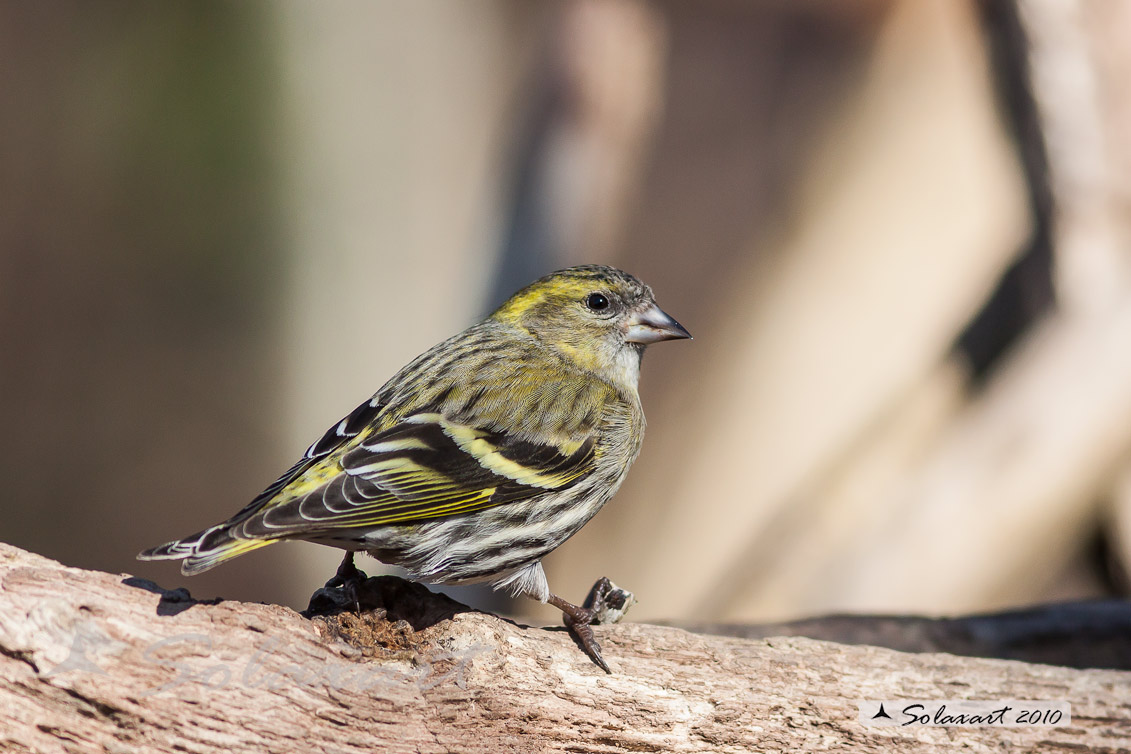 Spinus spinus:  Lucherino (femmina); Eurasian Siskin (female)
