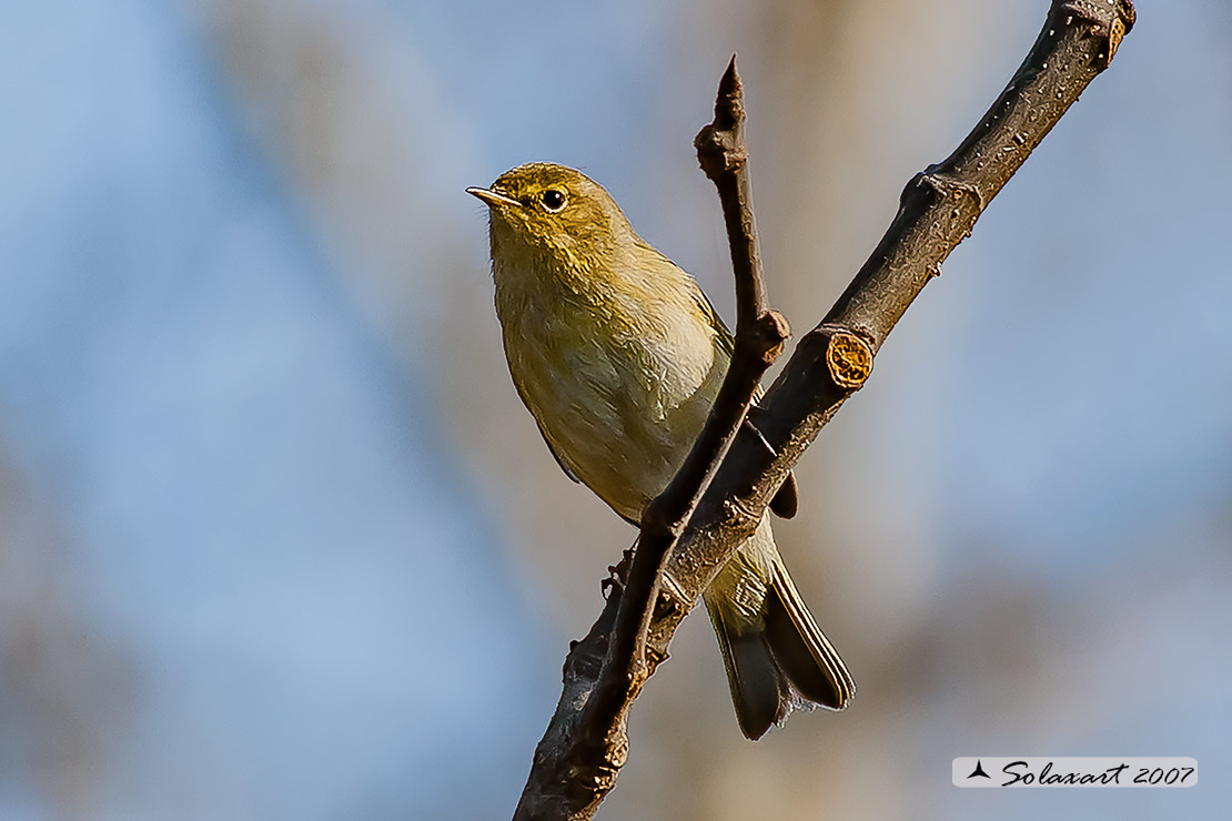 Phylloscopus trochilus - luì grosso - Willow Warbler