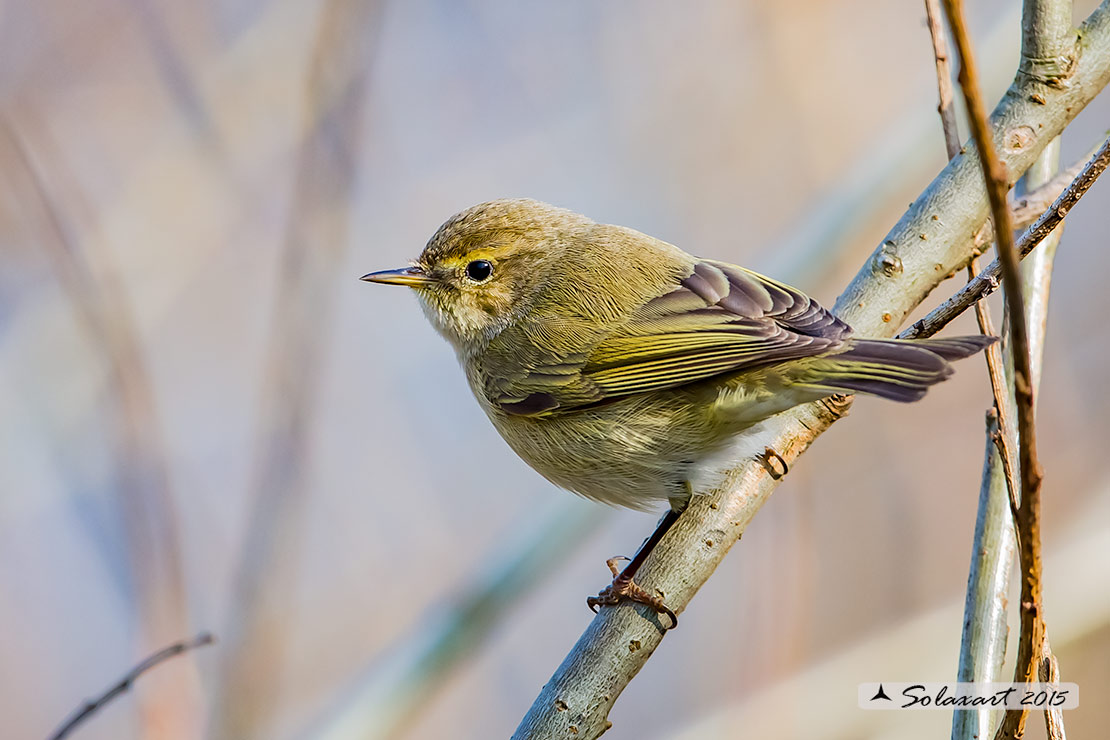 Phylloscopus collybita :  Luì piccolo ;  Common Chiffchaff