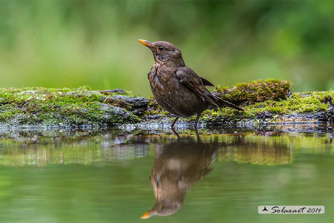 Turdus merula: Merlo (femmina);  Common Blackbird (female)