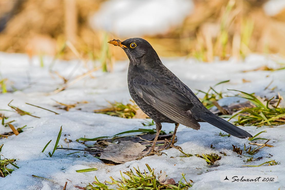 Turdus merula: Merlo (maschio);  Common Blackbird (male)