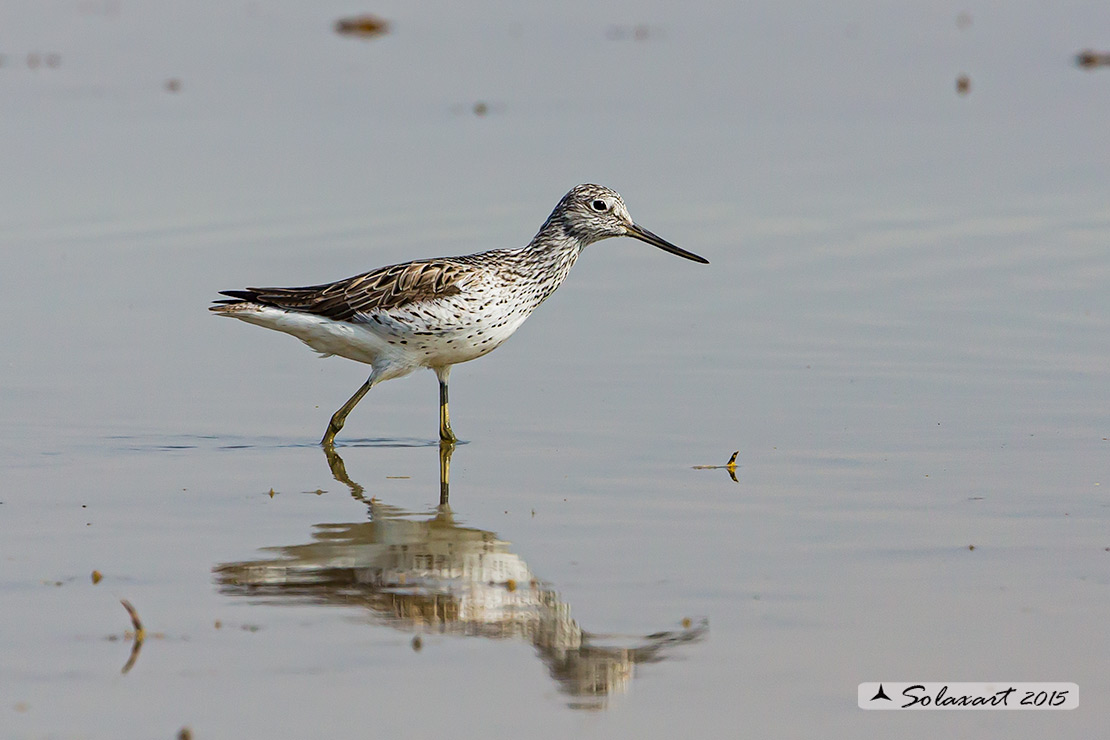 Tringa nebularia:  Pantana ; Common greenshank