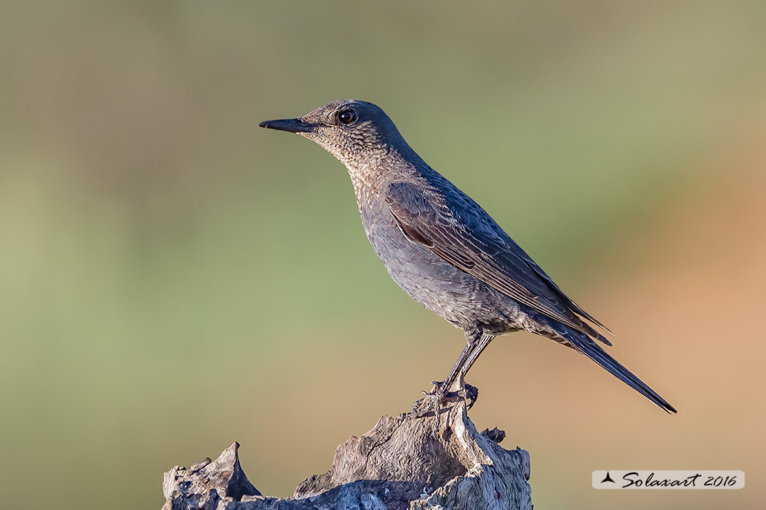 Monticola solitarius :  Passero solitario (femmina) ;  Blue rock thrush (female)