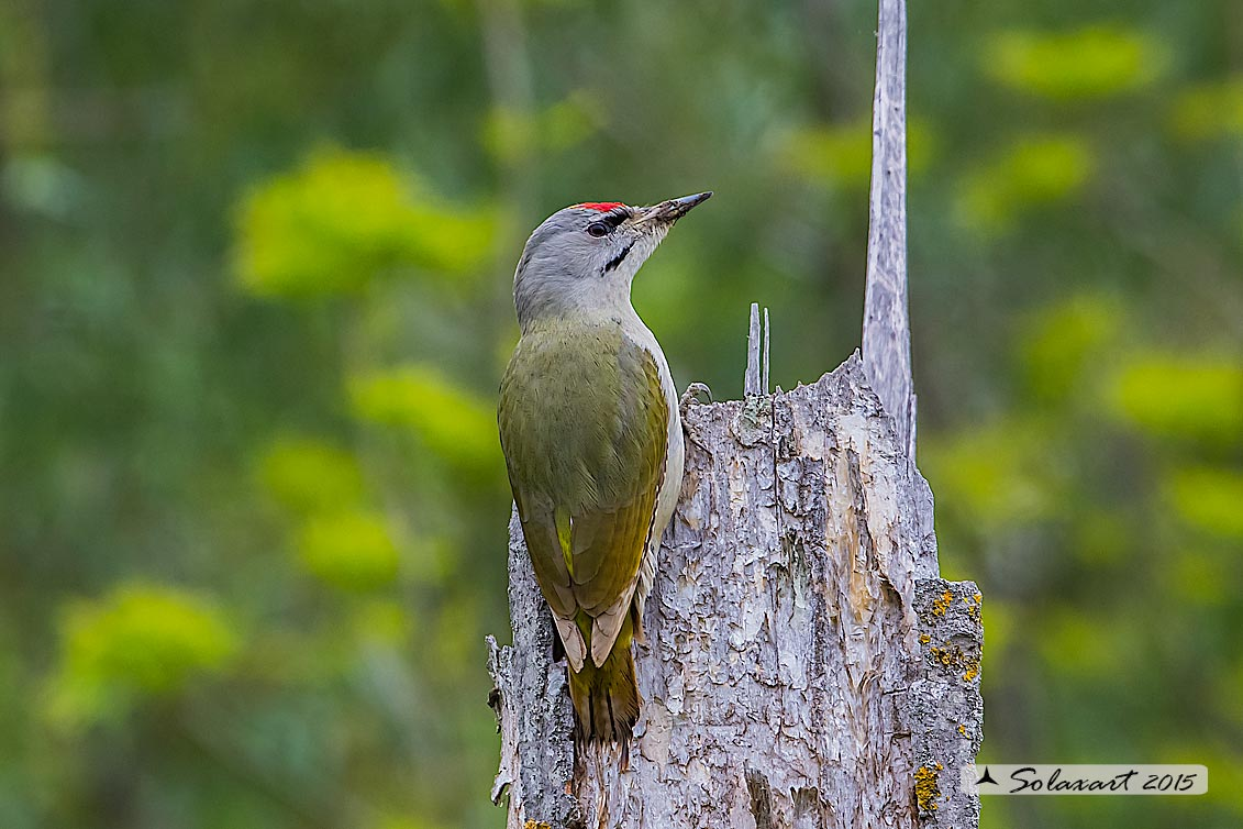 Picus canus :  Picchio cenerino;  Grey-headed Woodpecker