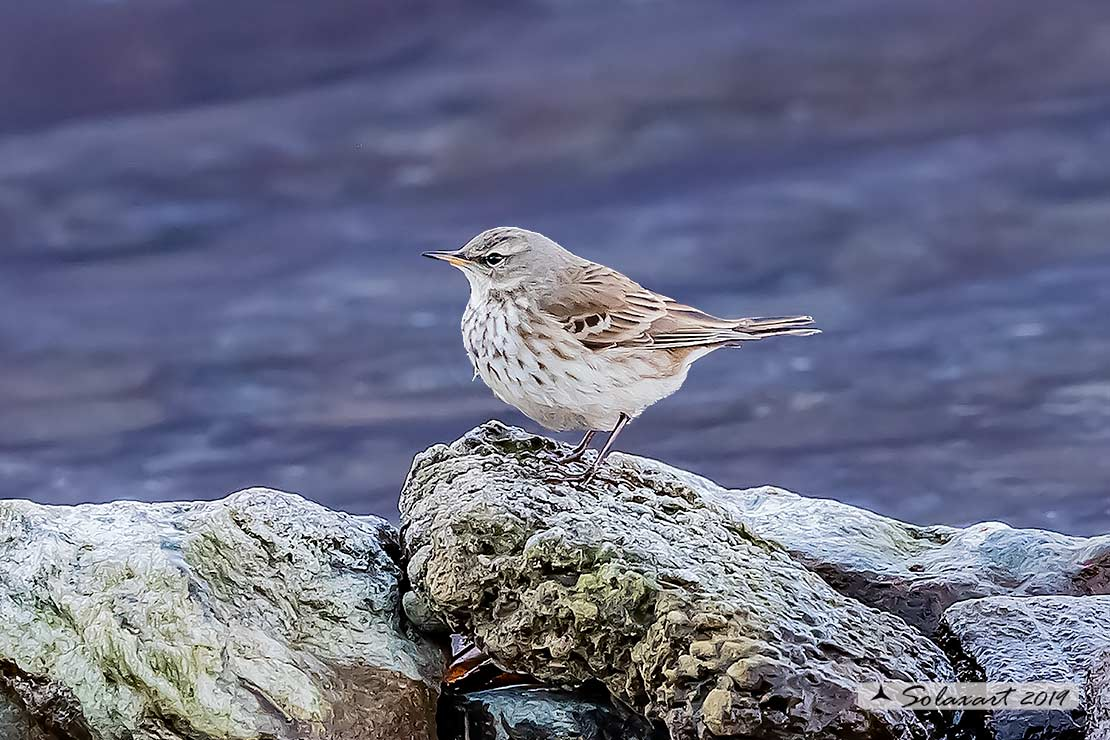 Anthus pratensis  -  Pispola  -  Meadow pipit