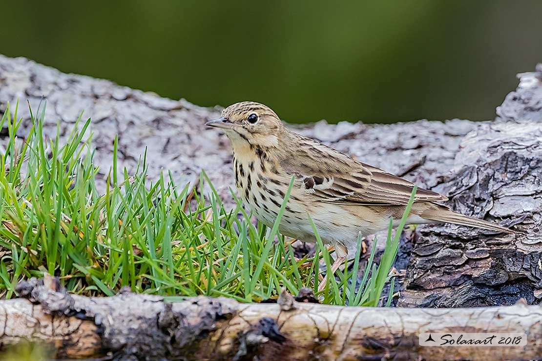 Anthus trivialis; Prispolone; Tree pipit