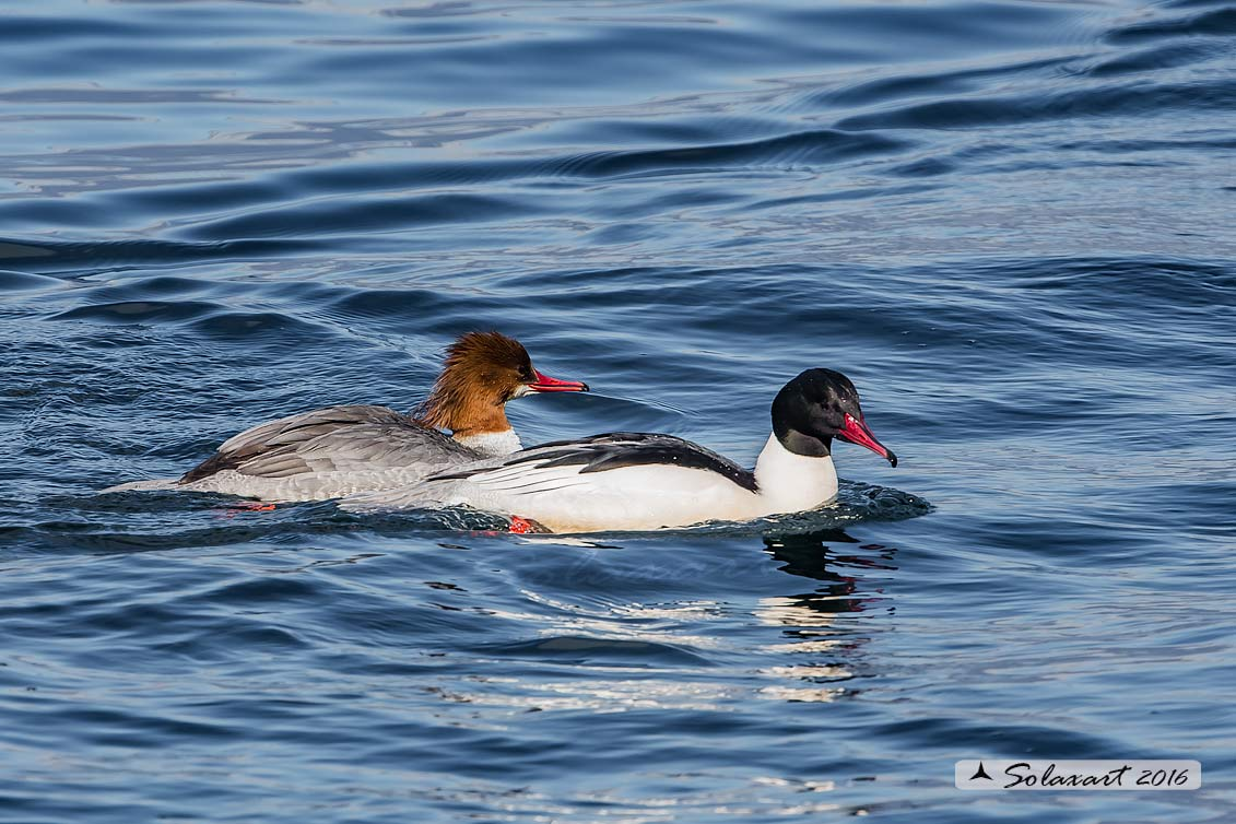 Mergus merganser  -  Smergo  -  Common merganser