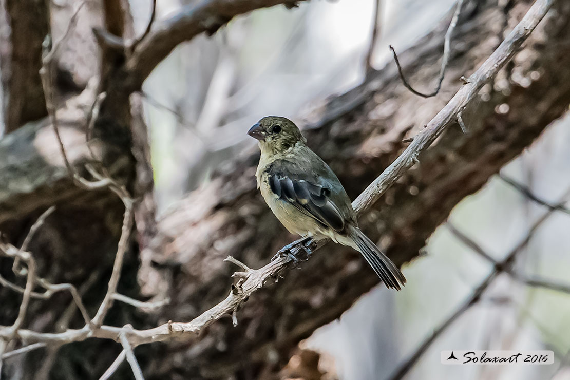 Sporophila torqueola: Beccasemi collobianco; White-collared seedeater