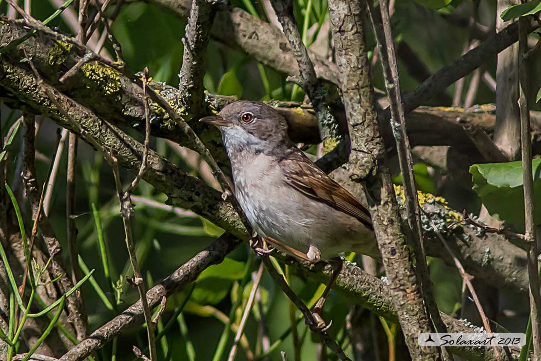 Sylvia communis: Sterpazzola; Common Whitethroat