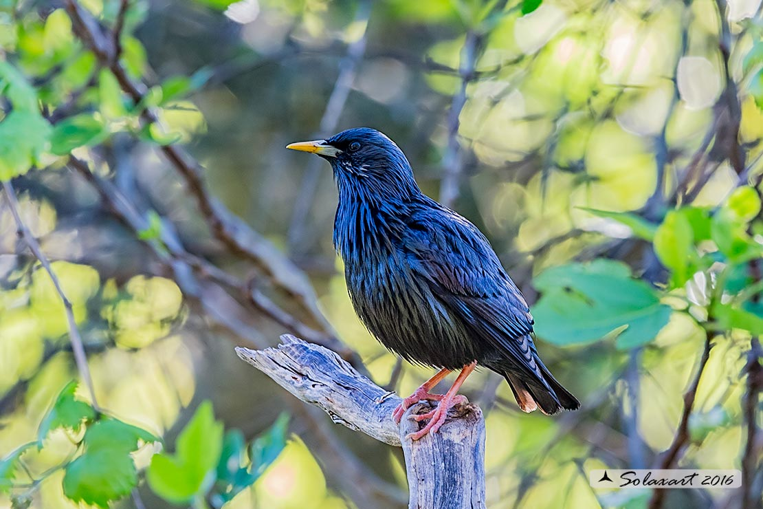 Sturnus unicolor :     Storno nero ;    Spotless starling