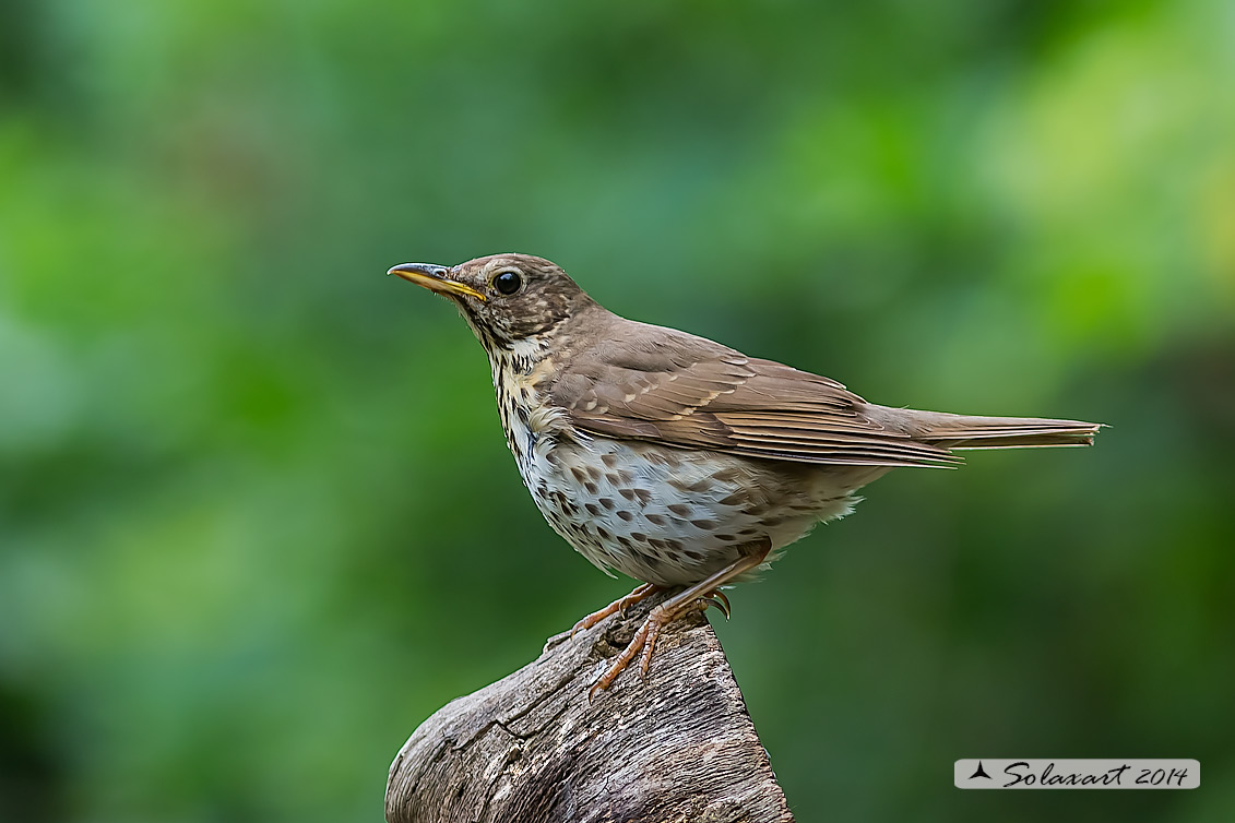 Turdus philomelos: Tordo bottacio; Song thrush