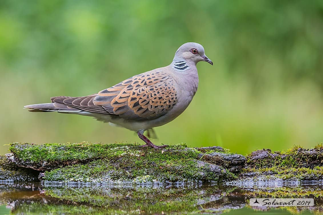 Streptopelia turtur :  Tortora comune; Turtle Dove