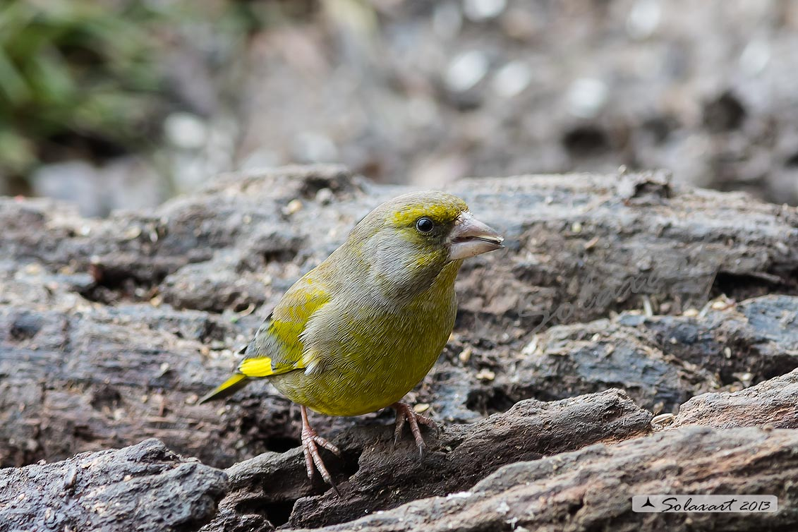 Carduelis chloris - Verdone - European Greenfinch