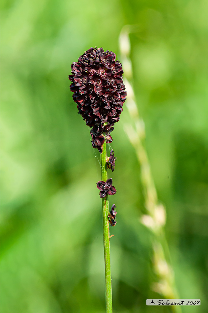 Sanguisorba officinalis - Salvastrella maggiore - Great burnet