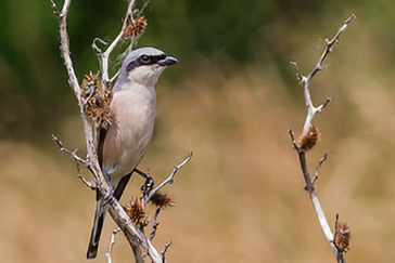 Lanius collurio - Averla piccola - Red-backed Shrike