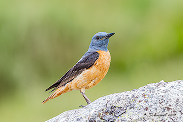 Codirossone; Monticola saxatilis; Common rock thrush