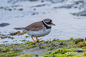 Corriere grosso, Common ringed plover, Charadrius hiaticula