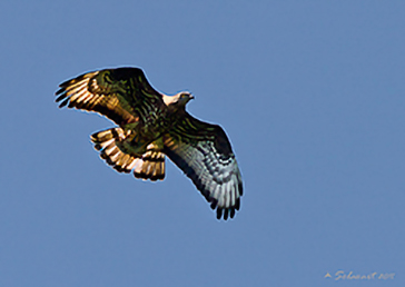 European Honey Buzzard, Falco pecchiaiolo