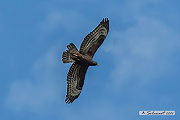 European Honey Buzzard black; Falco pecchiaiolo morfismo scuro