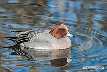 Eurasian Wigeon, Anas penelope, Fischione