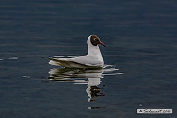 Black-headed gull, Gabbiano comune