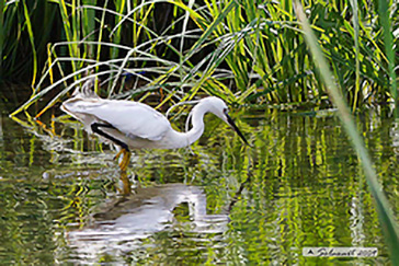 Little Egret, Garzetta