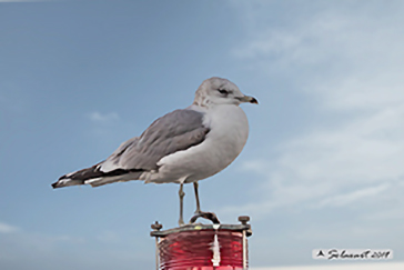 Common gull, Gavina - Larus canus