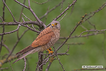 Common Kestrel, Gheppio