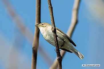 Common Chiffchaff, Luì piccolo