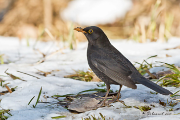 Common Blackbird, Merlo