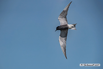 White-winged tern, Mignattino comune