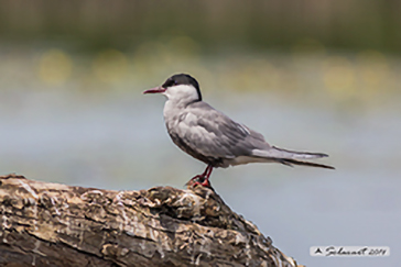 Whiskered tern, Mignattino piombato