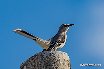 :   Mimo tropicale ;   Tropical Mockingbird