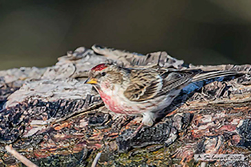 Acanthis flammea, Common redpoll, Organetto