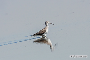 Common greenshank, Pantana