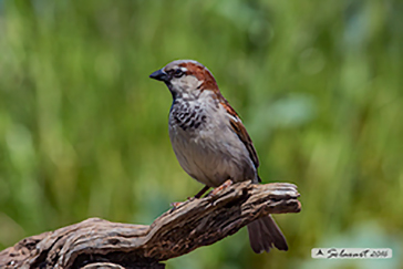 House sparrow, Passera europea