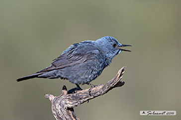 Blue rock thrush, Passero solitario