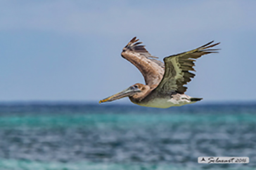 Brown pelican, Pellicano bruno