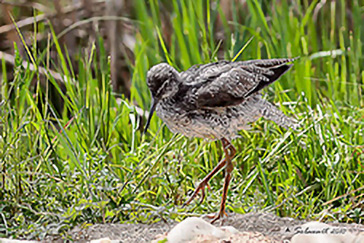 Common Redshank, Pettegola