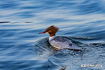 Common merganser, Smergo