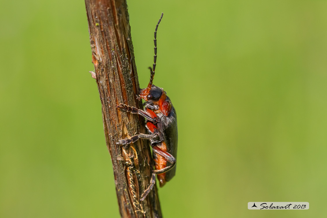 Cantharidae - Cantharis rustica