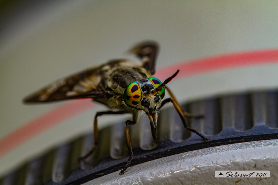 Chrysops relictus - 'Mosca cavallina' - Twin-lobed deerfly