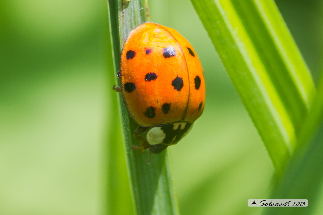 Harmonia axyridis -  Coccinella  - multicolored Asian lady beetle