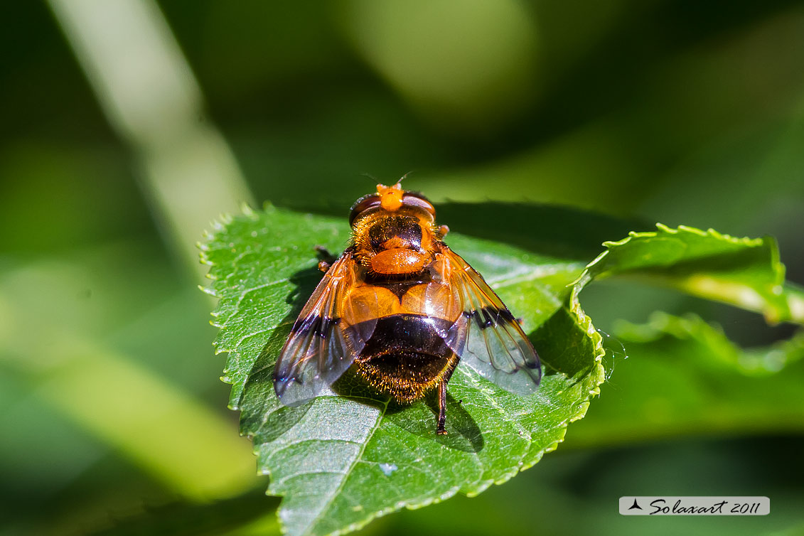 Volucella inflata  - Volucella - Hoverfly