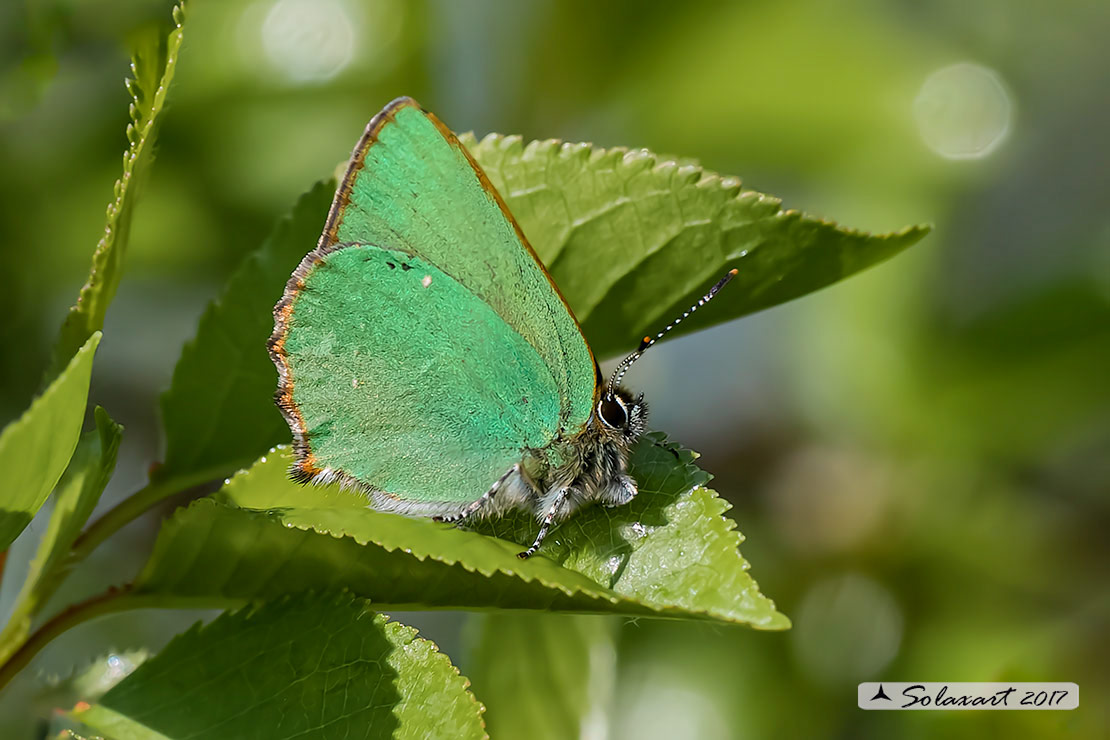 Callophrys rubi: Licenide del rovo - Green Hairstreak
