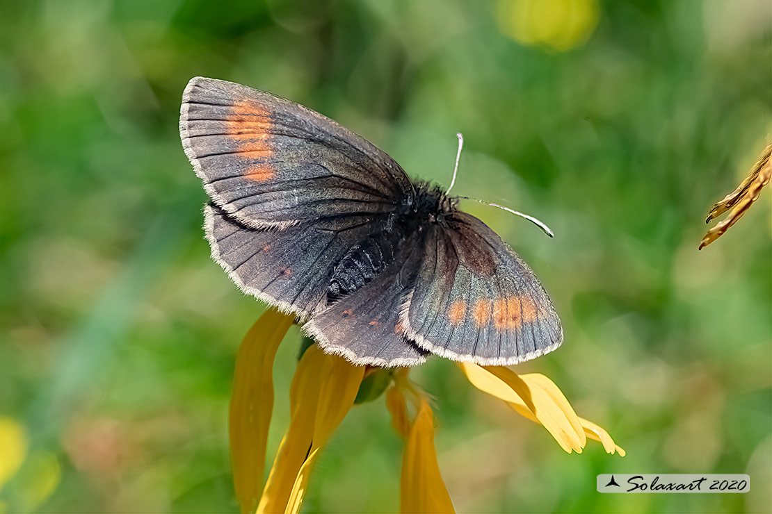 Erebia manto :  Yellow-spotted ringlet