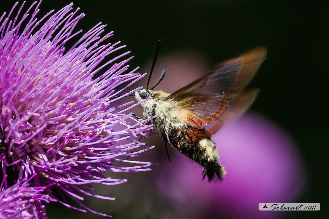 Hemaris fuciformis o  Hemaris Tityus - Broad-bordered Bee Hawk-moth