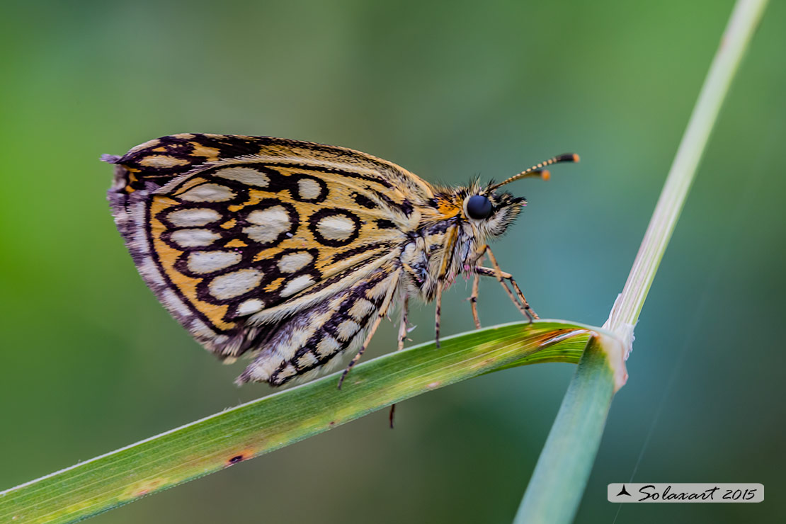 Specie: Heteropterus morpheus (femmina)  -  Large Chequered Skipper (female)